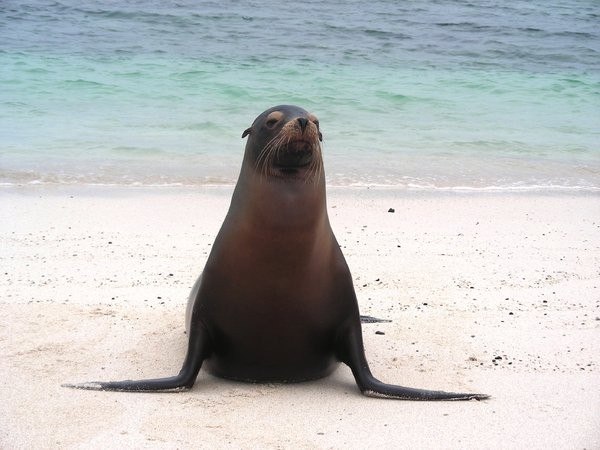 sea calf: photo from Galapagos