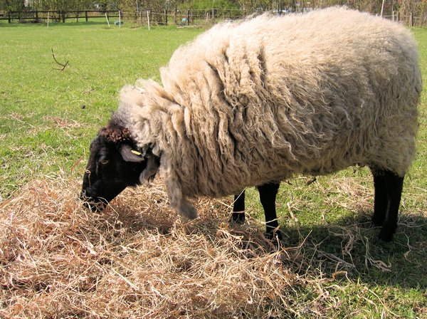 sheep eating straw: sheep eating straw