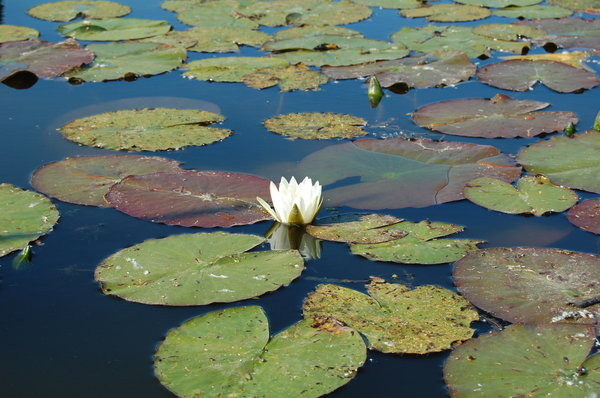 Water lily: Tisza