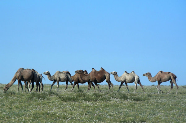 camels: photo taken in Mongolia