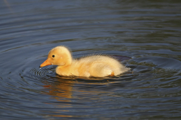 Duckling: A single duckling swimming in a pond in West Sussex, England, in spring.