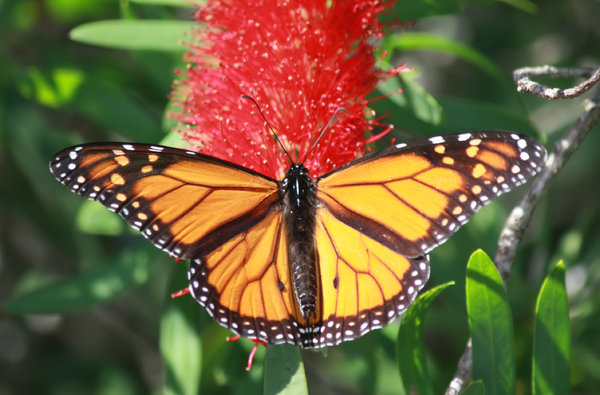 Monarch on flower: a Monarch butterfly sipping from the bloom