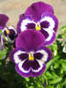 blue pansies