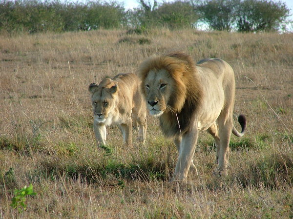 Walking lions: Male and female lions walking (Masai Mara, Kenya)