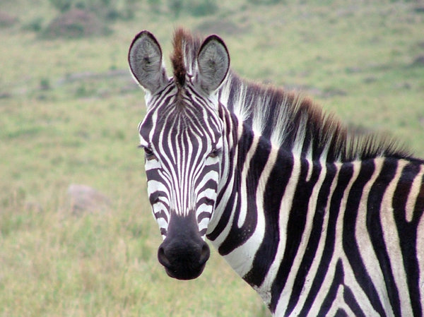 Zebra: Zebra face on (Masai Mara, Kenya)
