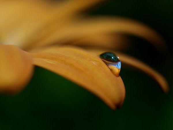 World in a drop: A raindrop on a pental leaf from a margerit shows both sky and flower. Macro.