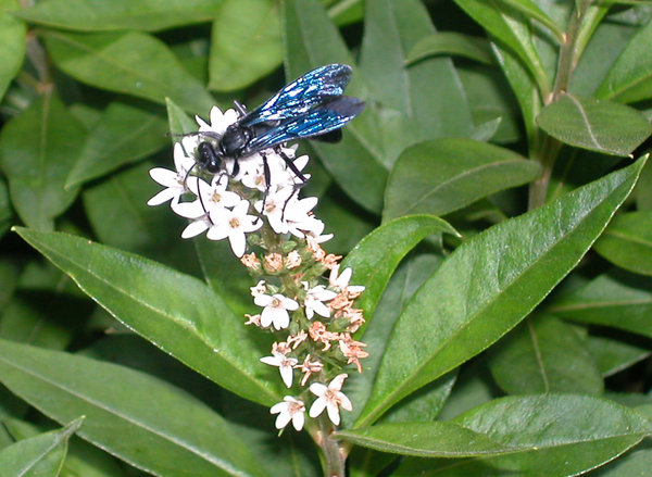 BLUE FLY ON LOOSESTRIFE: BLUE FLY(?) ON GOOSE NECK LOOSESTRIFE