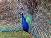 PEACOCK  0945