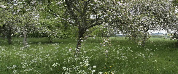 Old apple orchard: An old apple orchard in the southwest of England.
