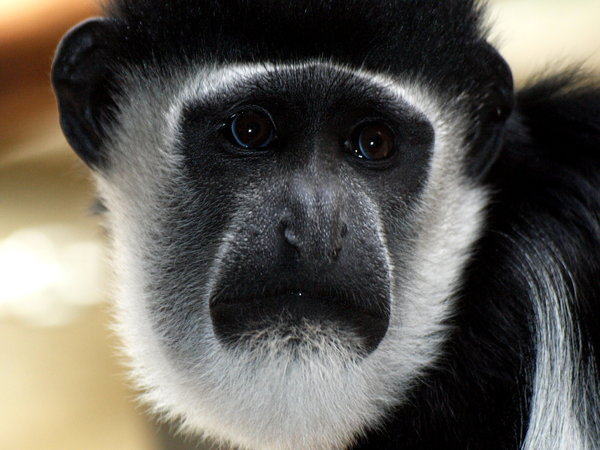 Eastern Black and White Colobu: Monkey at Zoo Antwerp.