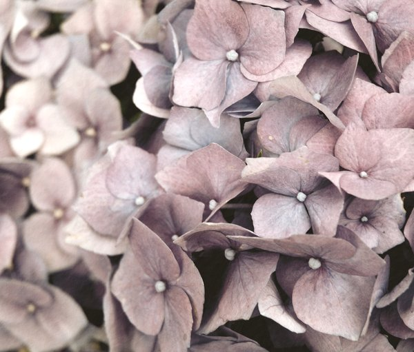grungydrangeas: grungy effect on hydrangea flowers