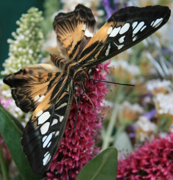 Tropical butterfly: Tropical butterfly feeding at a vase of flowers.