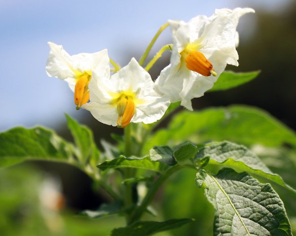 Potato flowers: Potato flowers