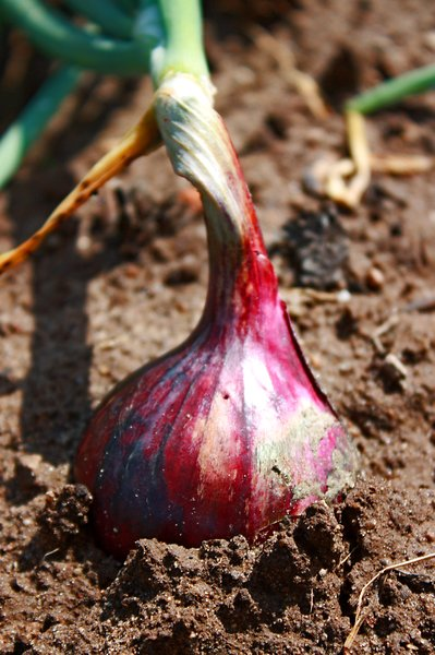 Red onion: Red onion