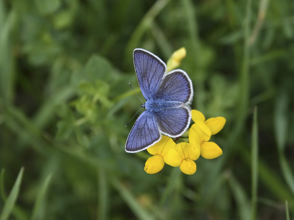 Blue butterfly: A blue butterfly (Lycaenidae) on a trefoil flower in the Dolomites, Italy.