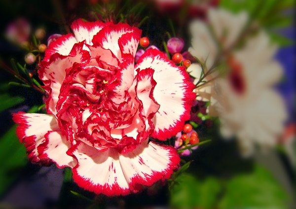 White Carnation, Red Border: A white carnation with a red border. You may like:  http://www.rgbstock.com/photo/2dyVwi7/ or http://www.rgbstock.com/photo/2dyVvRW/