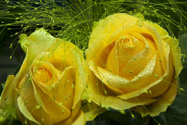 yellow macro: wet yellow roses grass macro