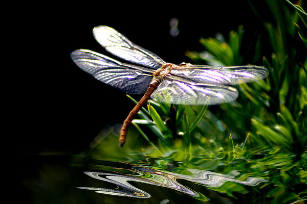 Dragonfly over water: Dragonfly over water