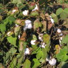 Cotton plants 1