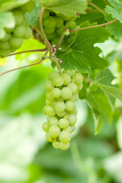 Green grapes: Proudly presenting our home grown (Holland - Europe) grape harvest.