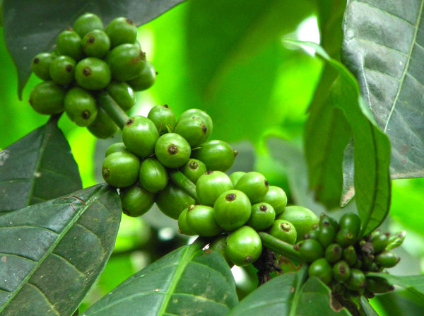 Green Coffee Beans: no description