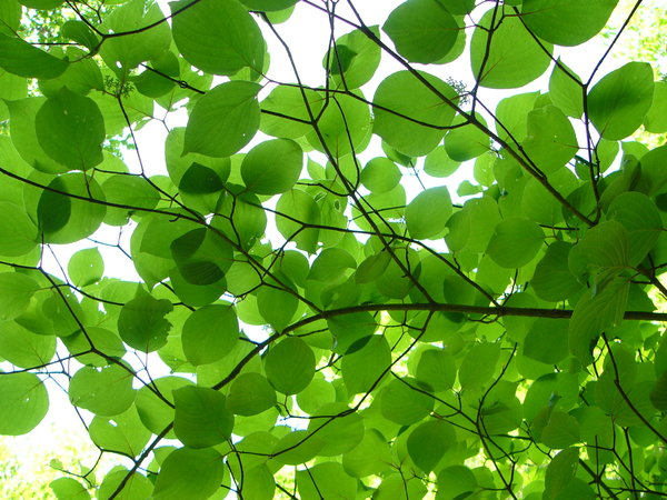 Dogwood Silhouette: looking up through a canopy of dogwood leaves