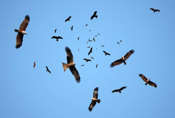 Kites In Nature Nature  pariah kite  pet Geometric Kites In Nature