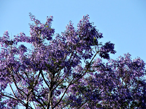 Free stock photos rgbstock free stock images jacaranda purple jacaranda purple heavy flowering purple blue jacaranda tree mightylinksfo