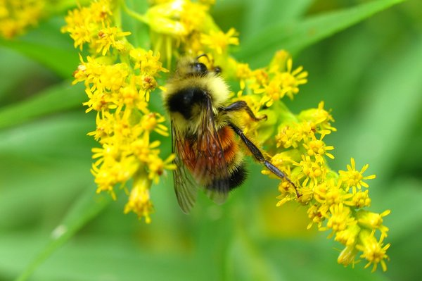 Honeybee: Shot taken of honeybee on goldenrod. (Insect series)