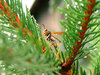 Wasp on pine branch