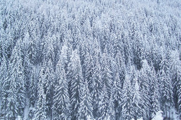 FOREST AND SNOW: a forest on Alps covered by snow during the night