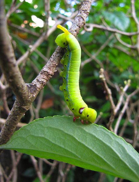 Caterpillar: An Oleander Hawk-moth caterpillar