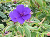 glory bush - tibouchina organe