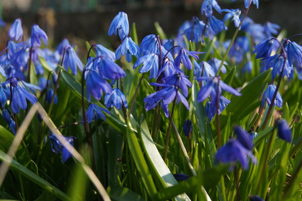 First spring flowers: Blossoming scilla sibirica