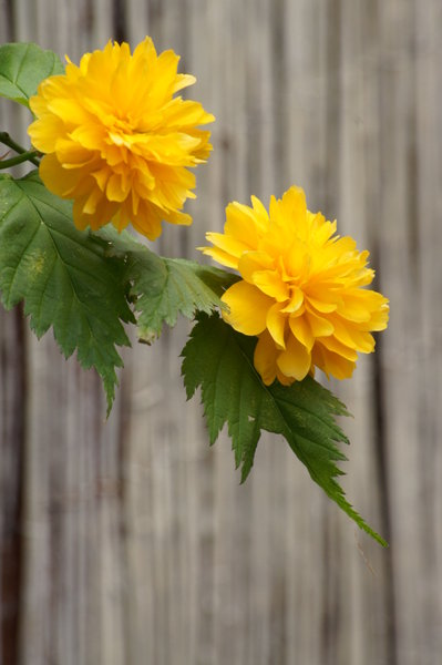 Free stock photos rgbstock free stock images couple of yellow couple of yellow flowers mightylinksfo
