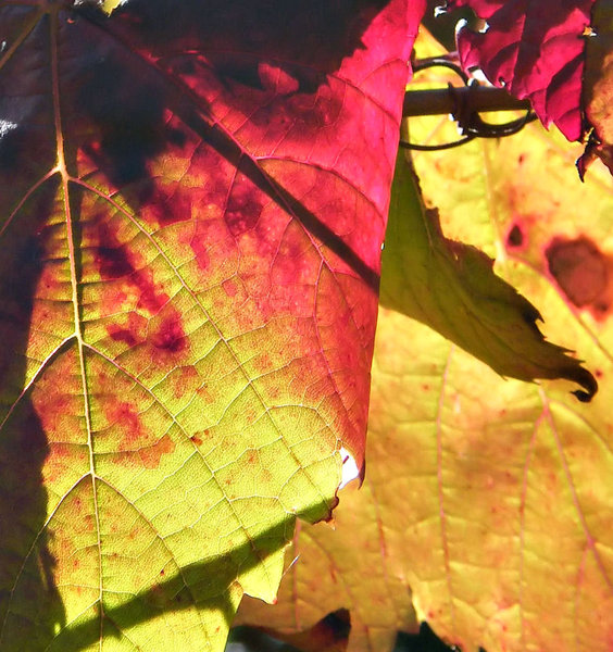 light & shade: sunlight shining on and through autumn coloured vine leaves