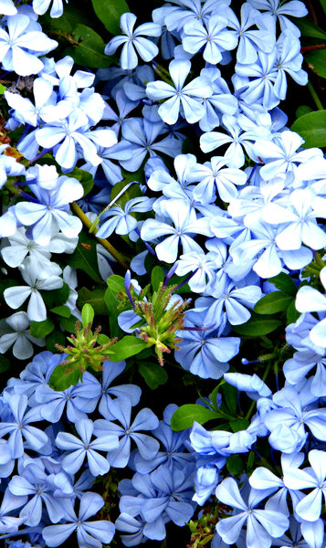 plumbago: cape plumbago fast growing hardy shrub with sky blue and white flower trusses
