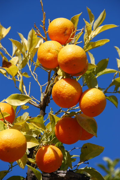 oranges on a tree: oranges on a tree, full sun
