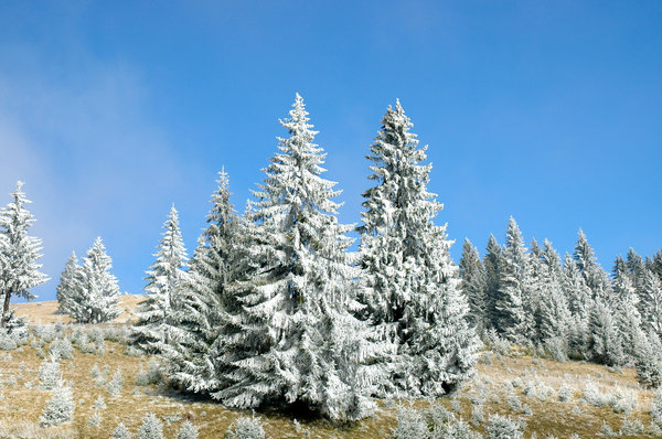 winter trees: trees in mountains with frost