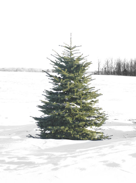 A Perfect Christmas Tree: One perfect evergreen tree in a field of snow.