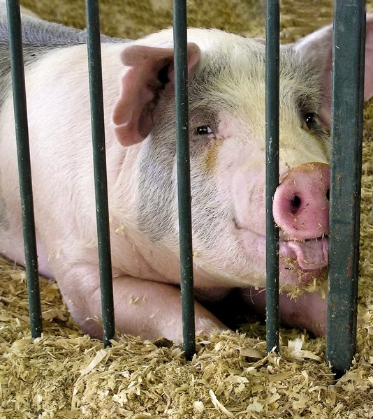 A Happy Pig: A photo of a hog taken at the county fair.