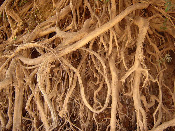 Roots: Big roots above a river
