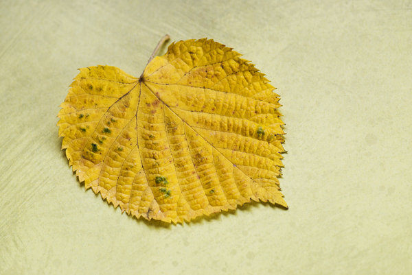 Yellow leaf: small yellow leaf