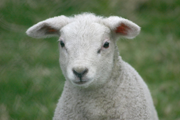 sheep: lamb portrait