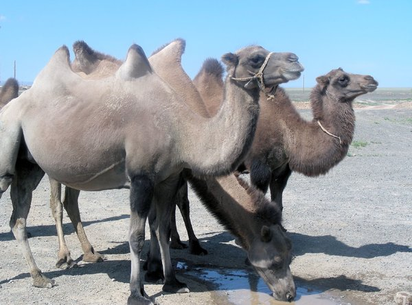 thirsty camels: photo taken in Mongolia