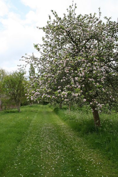 Old apple orchard: An extensive old orchard of cider apple (Malus) trees in Somerset, England, in spring.