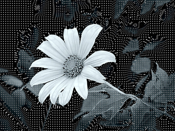 Abstract Flower Warp Effect: A warped, grid like effect in a duotone image of a Mexican sunflower.