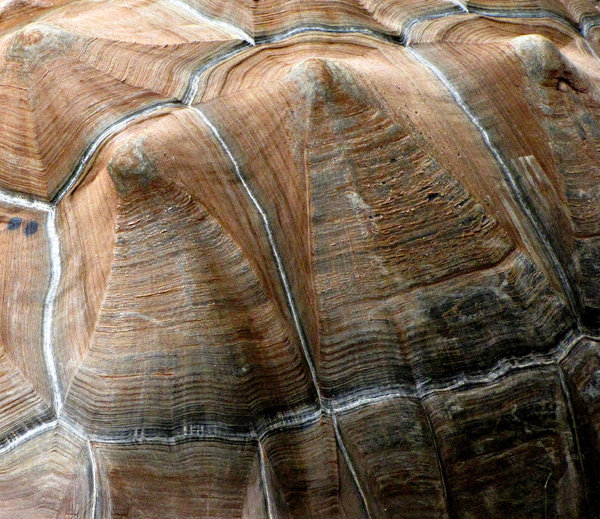 contoured shell-ter: contours and exterior of large tortoise shell -