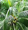treetop coconuts