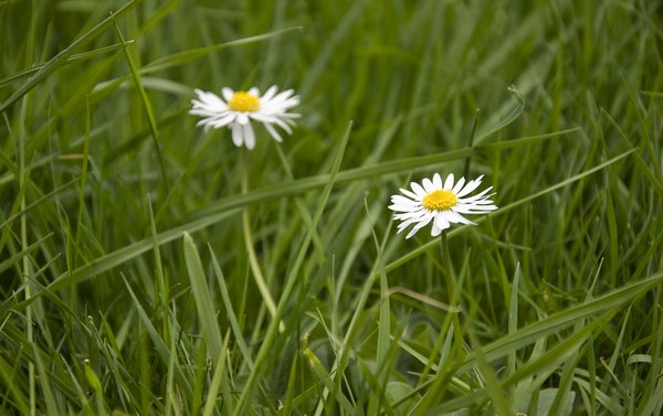 Daisy I: White Daisies